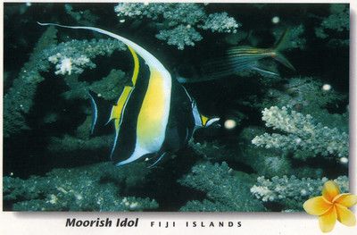 029_The Moorish Idol is one of the more spectacular of the reef fishes