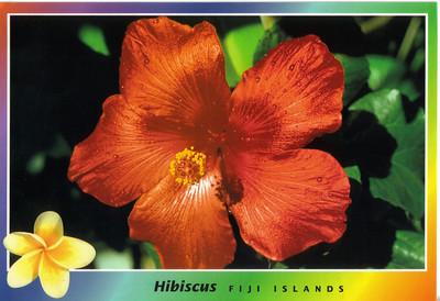 025_The Hibiscus Flower, wide variety of colours, Often worn as an adomment in the hair