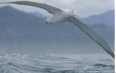 653_ Royal Albatros wingspan, enables them to cover vast distances at sea with relative ease