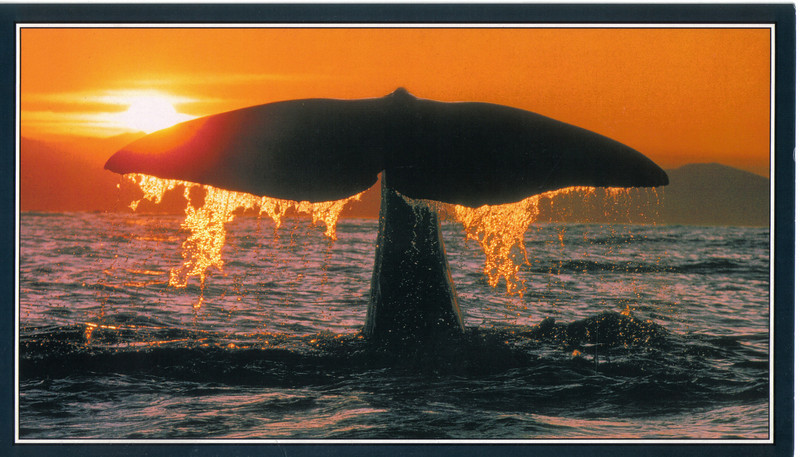 395_Giant Sperm Whale  Showing their fine tails just before they dive, is called Sounding