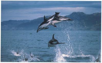 393_Kaikoura  Dusky Dolphins