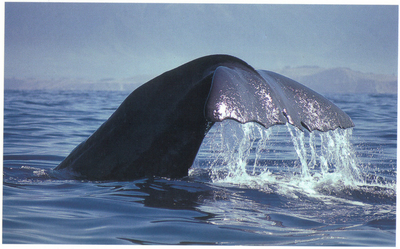 392_Kaikoura  Giant Sperm Whales are easily recognised by their distinctive tail notches