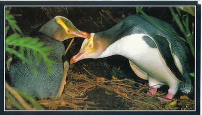 645_Yellow Eyed Penguins, husban and wife, communicate outside their nest in a cave  NZ Native