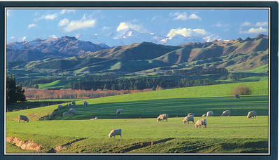 397_Sheepland  An afternoon in Canterbury with the Kaikoura Mountains in the distance