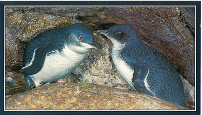 677_The Blue Penguins  Nest in a cave  Go swimming far out in the sea, feeding during day