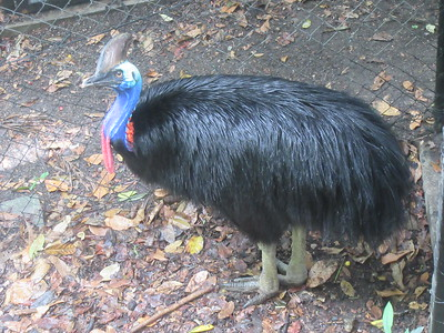 054_Port Moresby  Nature Park  Southern Cassowary  2 of 3