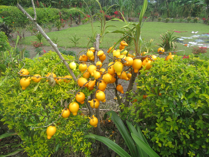 405_Avi Orchid Garden  Fruit like plastics  Not edible  Decoration for Kitchen centerpiece