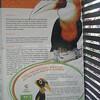 059_Port Moresby  Nature Park  Papuan Hornbill  Kokomo