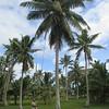 105_Niue  Eastern Side  Lakepa Village  Instead of climbing the tree, use the Big John device
