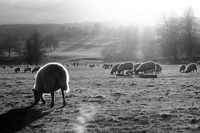 Reddy-Brek-eating sheep, Chatsworth House, Derbyshire