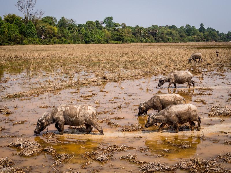 Buffaloes in the Rice Field, Angkor, Cambodia