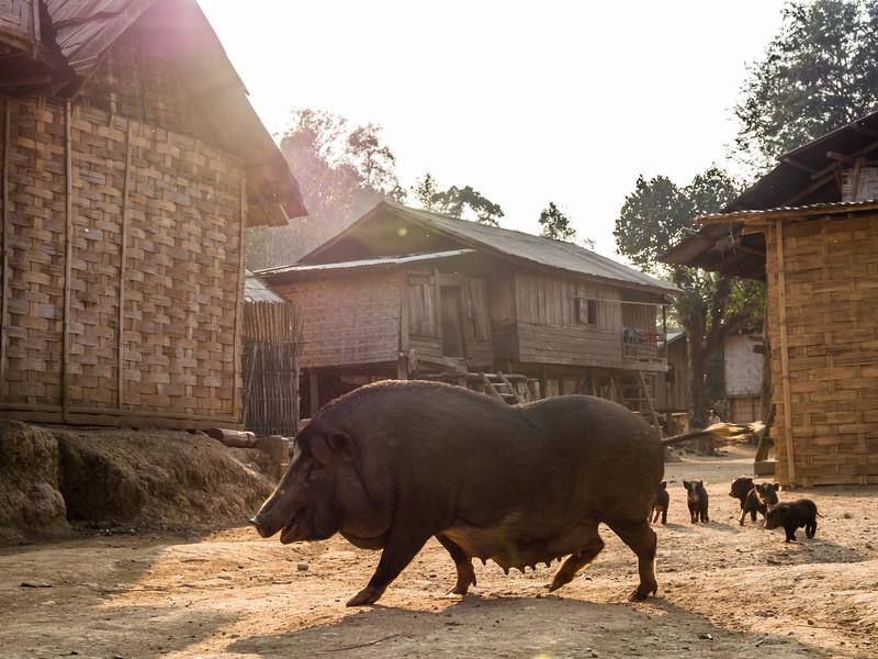 Pig Crossing, Ban Long Yuak, Laos