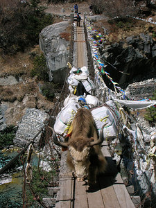 (Photo courtesy of Ian) - Yaks on river crossing below Thyangboche monastery