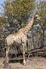 Giraffe near Victoria Falss, Zambian side