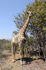 Giraffe near Victoria Falss, Zambian side