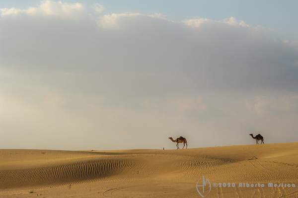 camels among the dunes