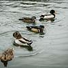 USA - St Louis - ducks in the botanical gardens.