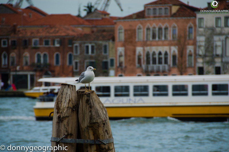 A Venice gull and a passing water taxi
