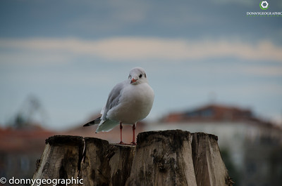 Venice Gull