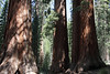 Yosemite - Giant sequoias - 1800 years old
