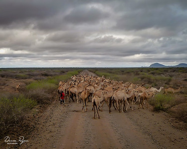 Camel Herd on the Move