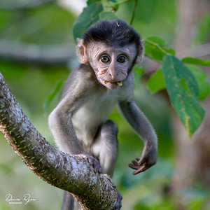 Baby Long-tailed Macaques