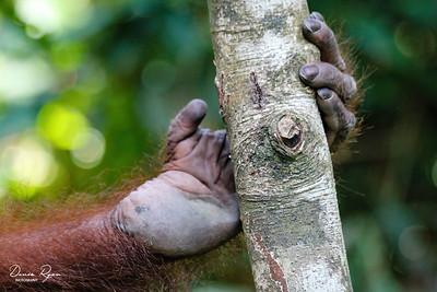 Orangutan Foot