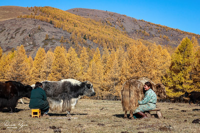 Yak Milking at Sunrise