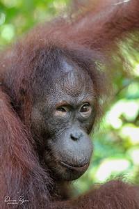 Orangutan Gaze
