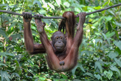 Orangutan - Letting it all Hang out