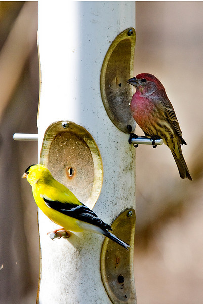 American Goldfinch and a House Finch