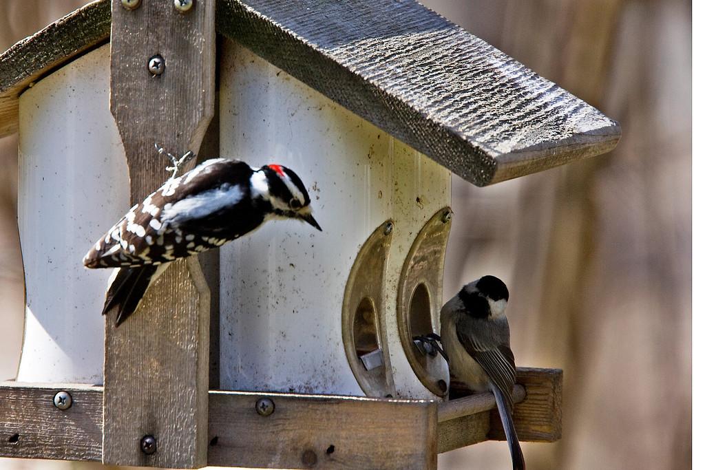 Downy Woodpecker and a Black-capped Chickadee
