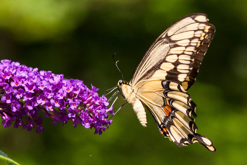 Giant Swallowtail - rarely seen in Westchester