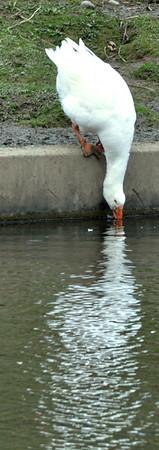 0414 a swan
