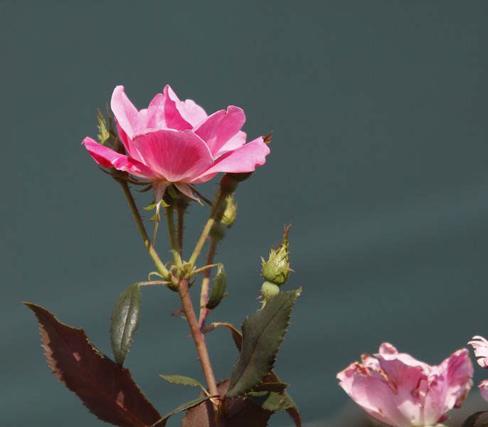 Rose (back drop is actually canvas of the patio awning.