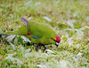 Groups of Red-crowned Parakeets forage for seeds on the ground on Enderby Island in the rain. 2/4/04.