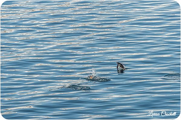 Flying in Water/ Penguins