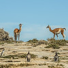 Guanaco and Penguins