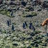 Magellanic Penguins Colony