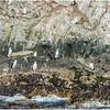 Emperor Cormorants