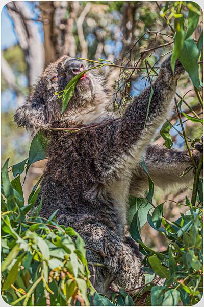 Koala