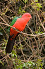 An Australian King Parrot (Alisternus scapularis) at O'Rielly's Guesthouse. The orange head indicates that this is a male. Beautiful!<br /> 9/11/05