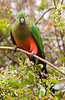 An Australian King Parrot (Alisternus scapularis) at O'Rielly's Guesthouse. The greener head indicates that this is a female.<br /> 9/11/05