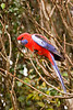 Crimson Rosella (Platycercus elegans) at O'Rielly's Guesthouse.<br /> 9/11/05