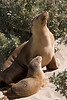 An Australian Sea-lion (Neophoca cinerea) and pup were resting near the boardwalk at Seal Beach on southern Kangaroo Island. These sea-lions breed from August to January (now!). Gestation lasts about 15 months and one pup is born. The young are weaned after one year and they become sexually mature at about five years old. Males do not mate until they can defend a territory on the beach.<br /> 9/12/06