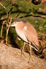 An adult Nankeen Night Heron (Nycticorax caledonicus).<br /> 9/1/06