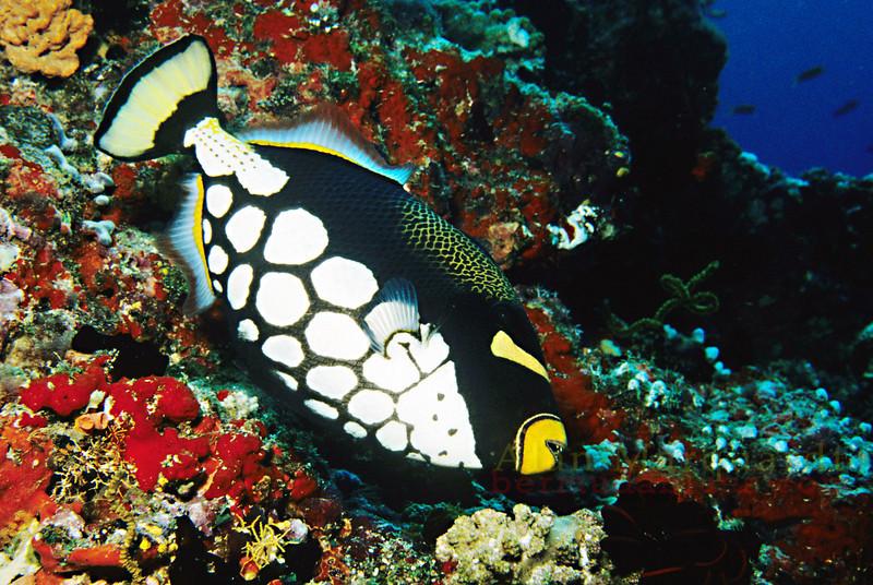 Clown fish, Baros, Maldives.