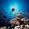 Lionfish, Baros, Maldives.