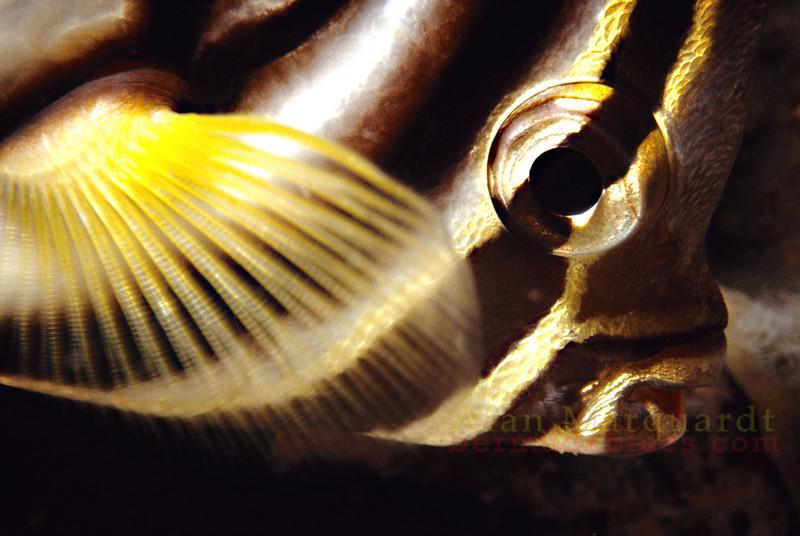 A butterflyfish sleeping at night. Baros, Maldives.