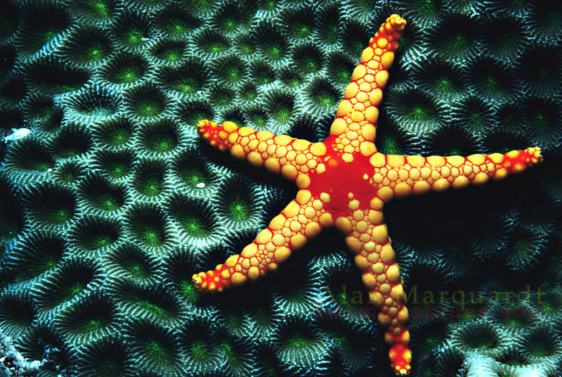 Star fish on hard coral. Baros, Maldives.